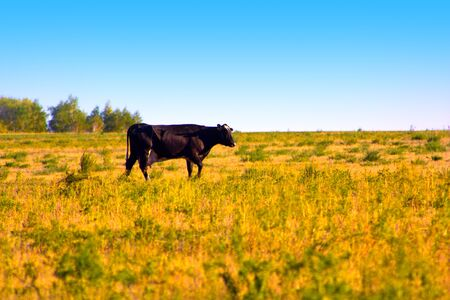 black cow slowly wanders the herd