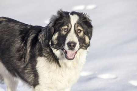 central asia shepherd dog: Central Asian Shepherd Dog lying in the snow