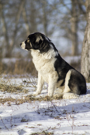 Central Asian Shepherd Dog lying in the snow