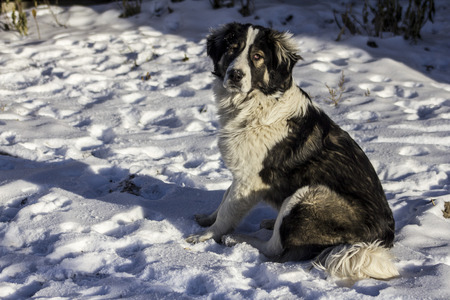 central asia shepherd dog: Central Asian Shepherd Dog is sitting outside on a cold winter day with snow on his face.