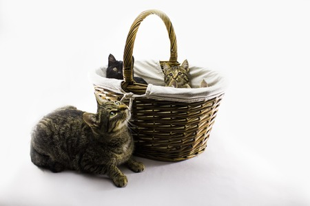 cat next to a basket of kittens on a white background