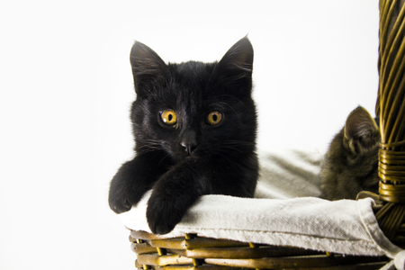 curious black kitten on a white background
