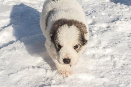 Cute puppy walking on snow winter