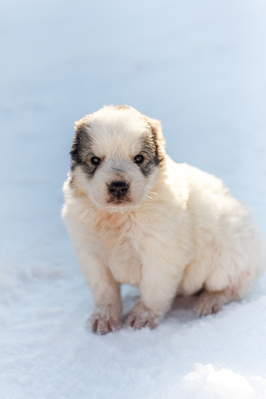 Puppy sitting in the snow and looking at the camera