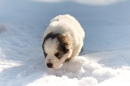 cute puppy sniffing snow Stock Photo