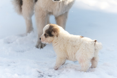 Fluffy puppy winter looks into the distance near the big dog Stock Photo