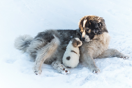 cute puppy and his mother smotrt each other in the snow Stock Photo