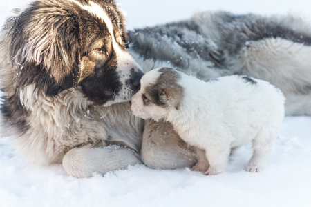 big dog sniffing snow puppy Stock Photo