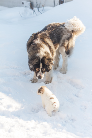 Fluffy puppy looks at his mom on a winter background vertical
