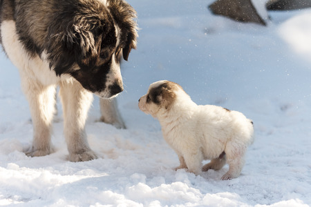 Fluffy puppy looks at his mom on a winter background Stock Photo