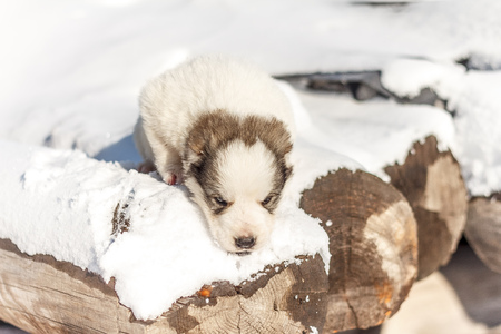 running nose: Puppy is sad on logs in winter