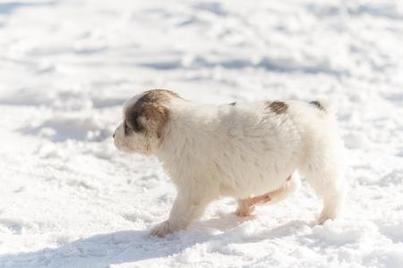 Puppy runs through the snow Stock Photo