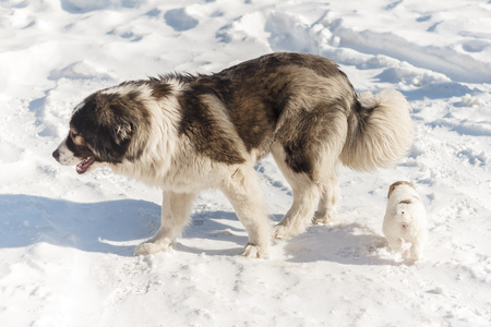 running nose: Puppy with his mom walking through the snow
