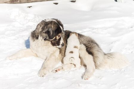 Mom puppy watching him on the snow Stock Photo
