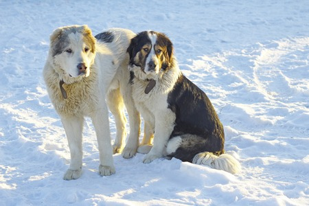 Two dogs dogs sit on the snow Stock Photo