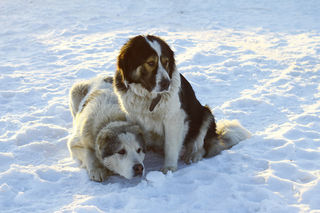 Two large dog on a snowy background