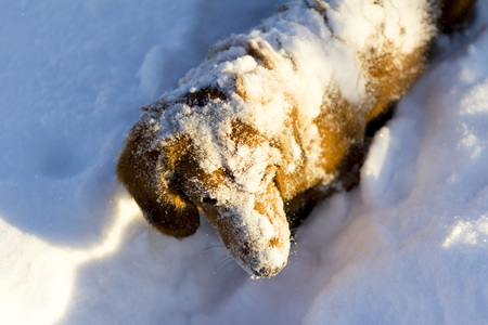 dachshund dog covered with snow
