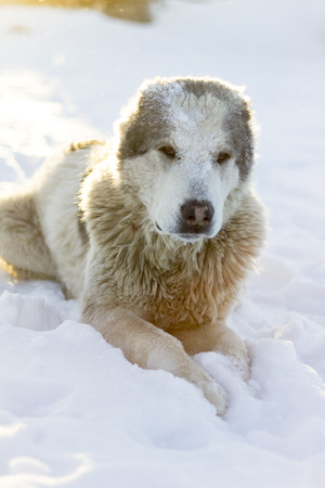 Alabai dog on the snow Stock Photo