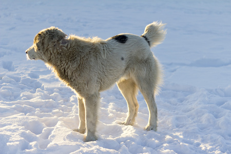 Alabai dog stand on snow Stock Photo