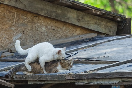 Two cats having sex act. on the roof of the house Archivio Fotografico