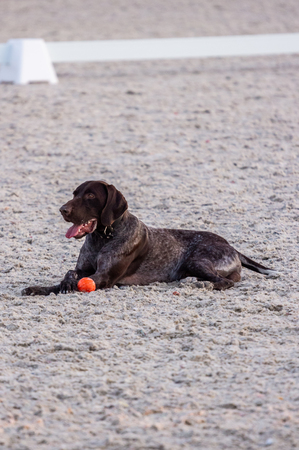 Black labrador outdoor portrait lying in the sand with a red ball. summer Фото со стока