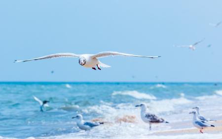 mob: Gulls flying on the beach. Ocean waves and yellow sand