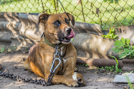 dog on a chain with a booth, Amstaff breed Stock Photo