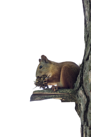 vulgar: A Squirrel and tree isolated over a white background.