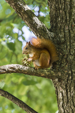 hazelnut tree: Squirrel eat hazelnut sitting on a tree Stock Photo