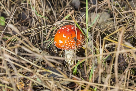 basidiomycete: Close-up of one red mushroom among green grass in the autumn forest. Amanita muscaria, known as fly agaric or fly amanita, is a beautiful but poisonous mushroom and psychoactive basidiomycete fungus.