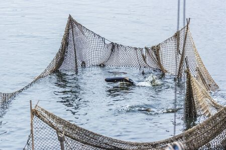 commercial fishing: Fishing on the lake, the fish in the net, autumn day, the fish tries to jump over the net