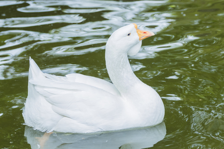 Closeup White duck swimming in the lake
