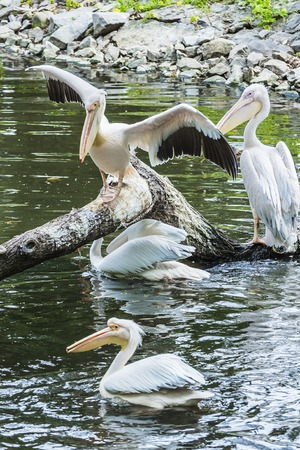 Group of white pelicans on a tree in the water, rest Stock Photo