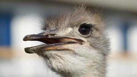 ostrich: Avestruz Primer principal. Retrato de avestruz