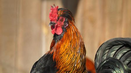 granja avicola: Cock en la granja av�cola libre de la gama tradicional Foto de archivo