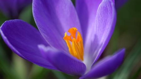 hepatica: Beauty purple snowdrop macro shot.