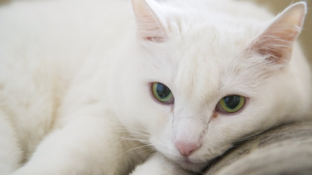 whiskar: Portrait beauty white cat with green eyes
