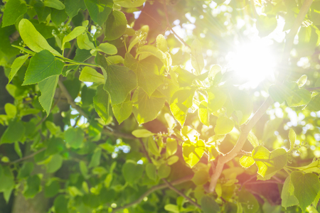 Fresh young green linden leaves bright sun light, close up shot.