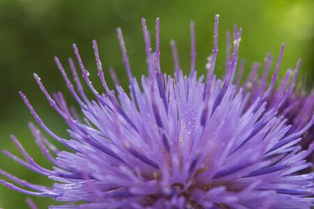 Macro view of a Silybum marianum. In the forest.