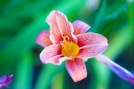 stargazer lily: Beautiful pink glowing stargazer lily on leaves background Stock Photo
