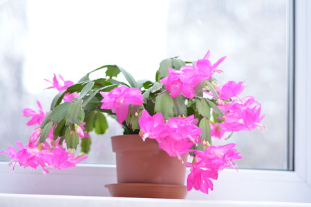 berger: Spring background illustration for the web site banner. Schlumbergera plant blooms. Beautiful background for banner.