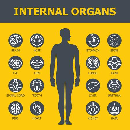 organos internos: Los �rganos internos establecidos. Iconos m�dicos infogr�ficas, �rganos humanos, anatom�a corporal. Iconos de vector de �rganos humanos Dise�o plano interno. Los �rganos internos iconos. Los �rganos internos iconos del arte.
