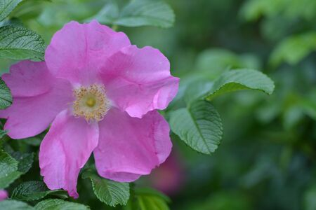 dog rose: Colorful garden flowers with blurred green background. Blooming dog rose with blurred background