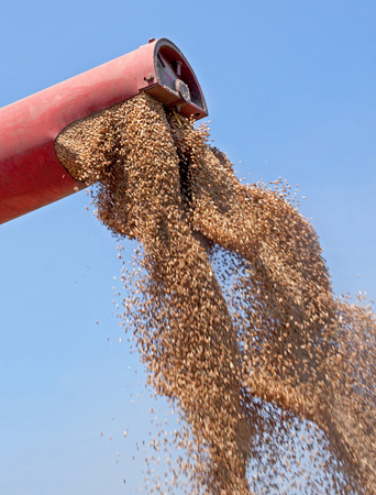 processed grains: Combine harvester unloads freshly harvested wheat grains