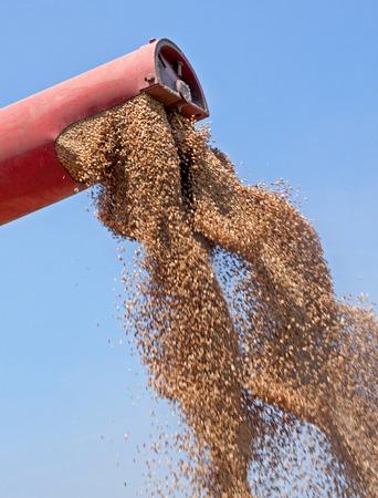 cosechadora: Cosechadoras se descarga granos de trigo reci�n cosechadas