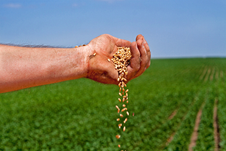 cereals holding hands: Spilling harvested wheat grains Stock Photo