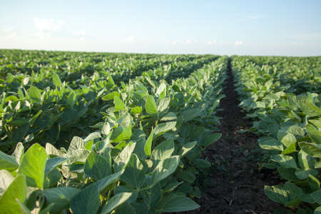 Rows of ripening soybean plants.