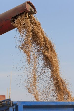 unloading: Unloading wheat grains in to tractor trailer