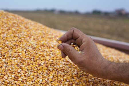 cereals holding hands: Showing corn maize seed sample