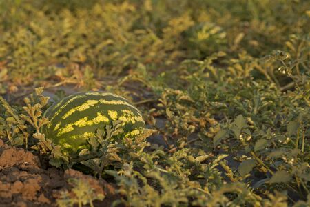 non cultivated: Ripe watermelon on field at sunset